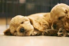 Sleeping Dog Royalty Free Stock Photos
