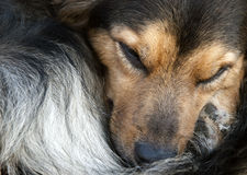 Sleeping Dog Stock Photos
