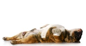 Sleeping dog. English bulldog laying on back stretched out sleeping with reflection on white background royalty free stock photography
