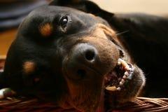 Sleeping dog royalty free stock images
