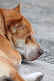 Sleeping dog. A sleeping Chinese rural dog Stock Images