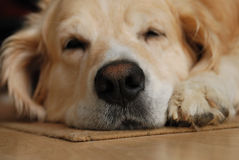 Sleeping dog. Close up of the sleeping dog in house Stock Photography