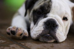 Sleeping dog. Puppy english bulldog on the floor Stock Image