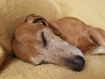 Sleeping_dog Fotografia de Stock Royalty Free