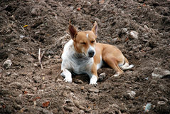 Sleeping dog. A free living dog which is sleeping on a wide area of mud Stock Photography