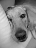 Sleeping dog. Sleeping labrador retriever in a sofa Royalty Free Stock Photography