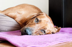 Free Sleeping Dog Stock Photo - 54464450