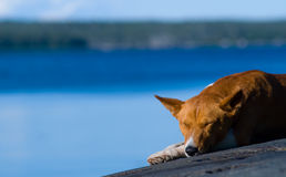 Sleeping dog Royalty Free Stock Images