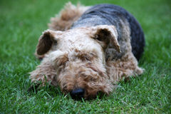 Sleeping dog. Welsh Terrier dog sleeping in the garden Royalty Free Stock Image