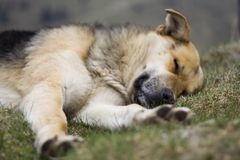 Sleeping dog. Sleeping mountain dog, close-up royalty free stock photography