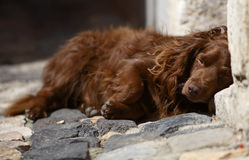 Sleeping dog. Dog's portrait - brown dog sleeping in the street Royalty Free Stock Photography