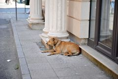 Resting Dog Lying on Sidewalk. Sleeping dog in Albania. Canine leaning against pillars on the side of pavement outside shop Royalty Free Stock Photography