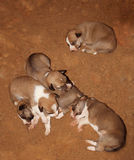Sleeping dog babies Stock Photo