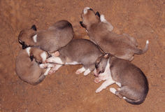Sleeping dog babies Royalty Free Stock Photography