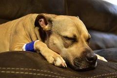 Sleeping dog with bandaged leg. Royalty Free Stock Photos