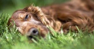 Sleeping dog banner Royalty Free Stock Image