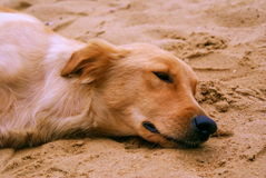 Sleeping dog on the beach. A pet dog was soundly sleeping on the beach, photo taken on May 15, 2010 royalty free stock photography