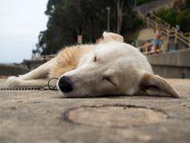 Sleeping dog at the beach royalty free stock photography