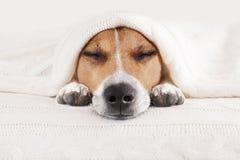 Sleeping dog in bed Stock Photos