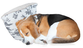 Sleeping dog. Curled up sleeping pet Beagle dog on a cushion, white background Stock Photos