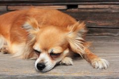 Sleeping dog. Cut sleeping dog at wood  floor Royalty Free Stock Image
