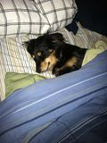 Sleeping dog. Cute snuggled in bed Royalty Free Stock Image