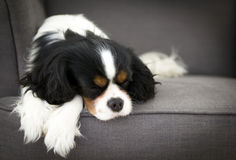 Sleeping dog Stock Image