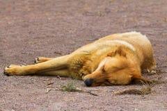 Sleeping dog Stock Photos