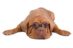 Sleeping dog with dioptre glasses. Dogue de Bordeaux with high dioptre glasses isolated on white background Royalty Free Stock Images