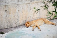 Sleeping Dog With Ear Tag in Albania. Sleeping dog in Albania. Mixed breed with big plastic ID tag in ear. Canine lying on the side of pavement Royalty Free Stock Images