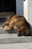 Sleeping dog Stock Photography