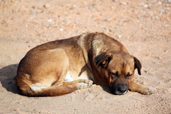 Sleeping Dog on the ground. Royalty Free Stock Photos
