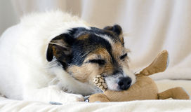 Sleeping Dog Stock Photography