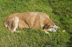 Sleeping Dog. Royalty Free Stock Photos