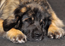 Sleeping dog Leonberg Stock Photo