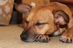 Sleeping dog. Royalty Free Stock Photo