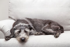 Sleeping Dog on Neutral Grey Color Couch Royalty Free Stock Images