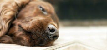 Sleeping dog nose banner Stock Image