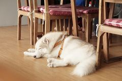 Sleeping dog. This one is husky Stock Images