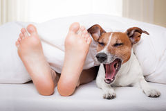 Sleeping dog and owner Stock Photos