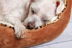 Sleeping dog in pet bed. Closeup of a puppy dog sleeping comfortably in its bed Stock Image