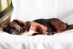 The sleeping dog Stock Photos