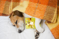 Sleeping dog with Present box gift. Sleeping cozy pet  under a blanket on the pillow. In anticipation of the holiday. Do not open until Christmas Stock Photo
