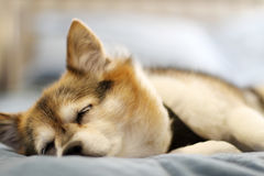 Sleeping dog. Puppy dog sleeping on bed Royalty Free Stock Image