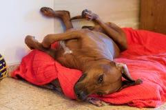 Sleeping dog. Rhodesian ridgeback sleeping on his bed Stock Photo