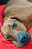 Sleeping dog. Rhodesian ridgeback sleeping on his bed Royalty Free Stock Photography