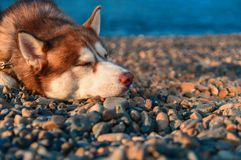 Free Sleeping Dog. Siberian Husky Is Sleeps On The Shore. Relaxed Husky Dog In Summer Evening On The Pebble Sea Beach. Stock Image - 122146581