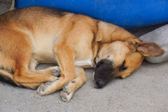 Sleeping dog. Dog sleeps on the ground,curled up Royalty Free Stock Photography