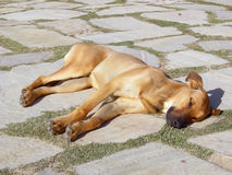 The sleeping dog Stock Images
