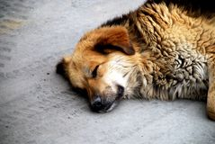 Sleeping Dog on The Street. Stock Images